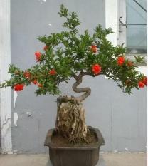berisi 5 biji benih bonsai buah delima import