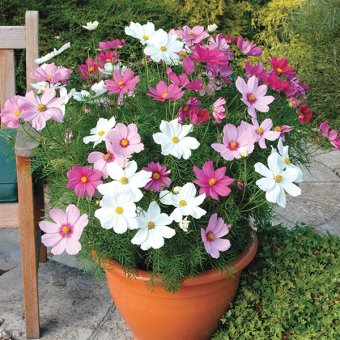 Bibit / Benih Bunga Cosmos Dwarf Mix Grow To your Own Yard