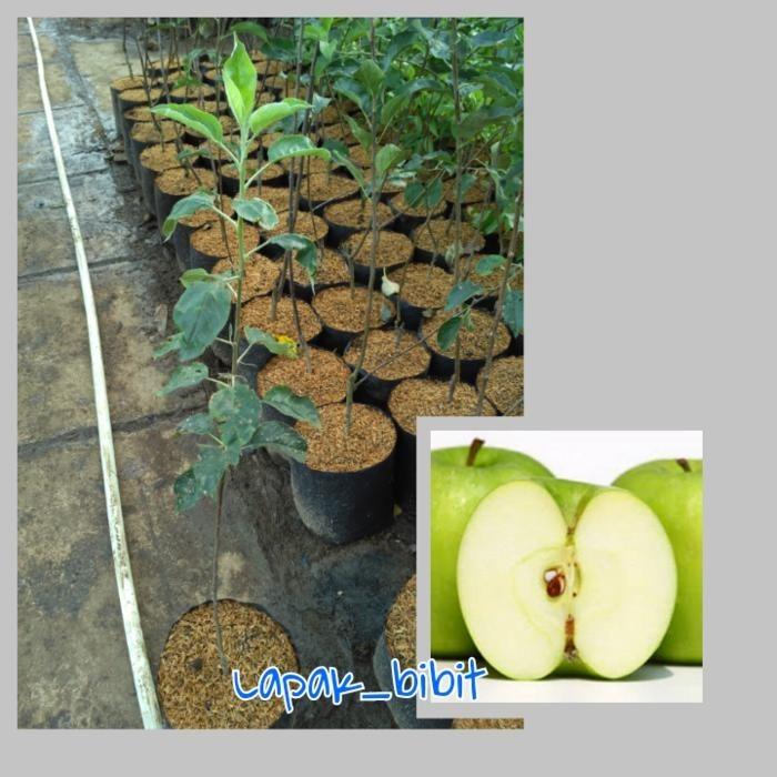 Spek Harga Amefurashi Bibit Benih Livingstone Daisy Mix Flower Seed Source · Bibit Buah Apel Malang