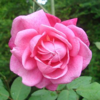 Bibit Bunga Benih Rose Pink