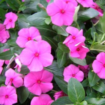 Tanaman Geranium Fuchsia Pink BibitBunga com Source · Tanaman Geranium Merah Source Tanaman Geranium Fuchsia Pink
