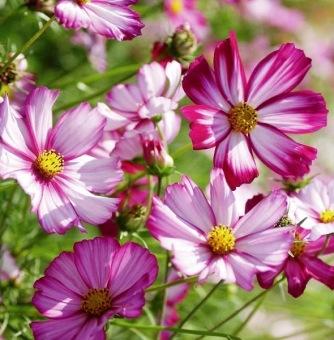 Bibit Bunga Benih Cosmos Picotee