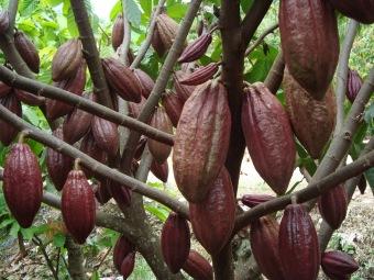 biji benih buah kakao berisi 5 butir